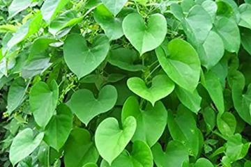 Guduchi - AMRITA ajurvédska bylina
